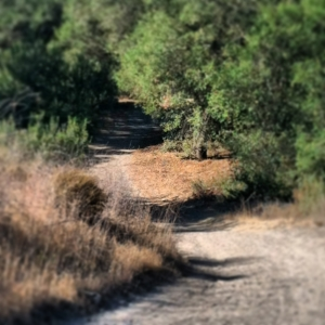 Heading back into forest at Serrano Trail