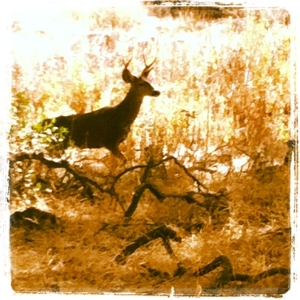 Serrano Trail Deer